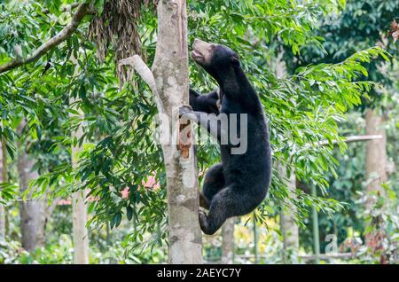 Sun Bear klettern auf einen Baum in Sepilok (Sabah, Borneo, Malaysia) - Stockfoto