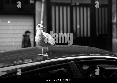 Seagull sitzt auf dem Dach eines Autos vor dem Hintergrund der alten Stadt. Schwarz-weiß Foto.