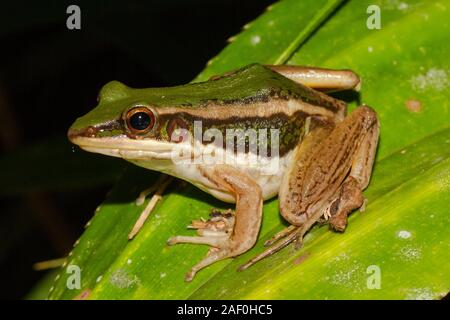 Frosch grün Paddy - Stockfoto