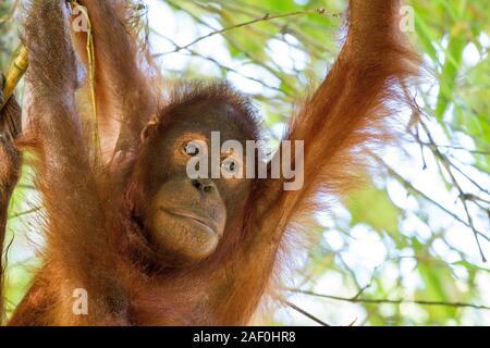 Junge bornesischen Orangutang im Baum - Stockfoto