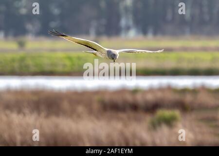 Eine nördliche Harrier (Circus hudsonius) jagt durch das Fliegen über Felder niedrig, sucht den Boden. Hier sehen Sie einen erwachsenen Mann. - Stockfoto