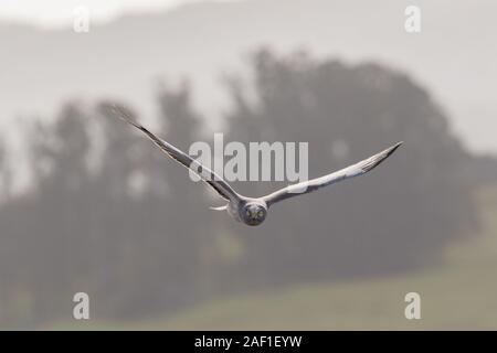 Ein männlicher Nördlichen Harrier (Circus hudsonius) jagt durch das Fliegen über Felder niedrig, sucht den Boden. Dieser hat seine Flügel in einen Raumwinkel, oder V-Form abov - Stockfoto