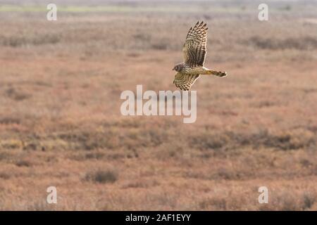 Eine nördliche Harrier (Circus hudsonius) jagt durch das Fliegen über Felder niedrig, sucht den Boden. Hier sehen Sie ein erwachsenes Weibchen. - Stockfoto