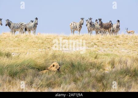Löwe Panthera leo, liegen auf dem Boden und eine Gruppe von gemeinsamen Zebras, Equus quagga, Essen und beeing vorsichtig - Stockfoto