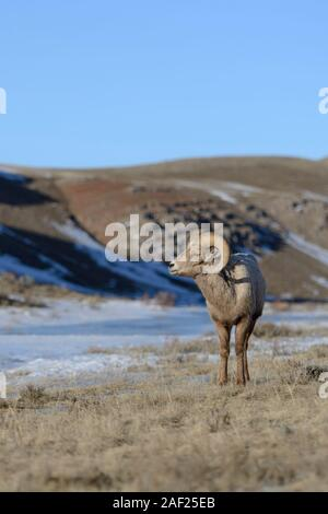 Rocky Mountain Bighorn Sheep / Dickhornschaf (Ovis Canadensis), ram an einem sonnigen Tag im Winter, National Elk Refuge, Wyoming, USA. - Stockfoto