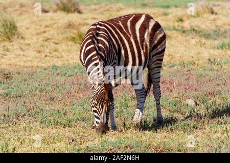 Ein einsamer Birchell Zebra Beweidung in der späten Nachmittagssonne in South Africas Western Cape - Stockfoto