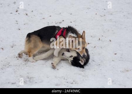 Cute pembroke Welsh Corgi Siberian husky Spielen im Winter Park. Heimtiere. Reinrassigen Hund. - Stockfoto