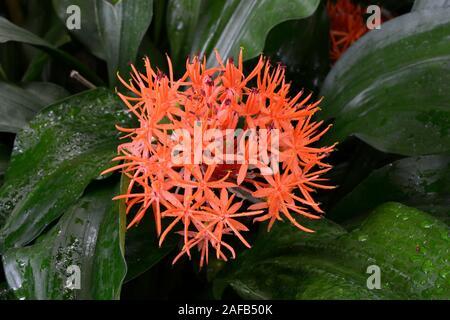 Roter Scadoxus (Scadoxus cinnabarinus) Vorkommen Afrika - Stockfoto
