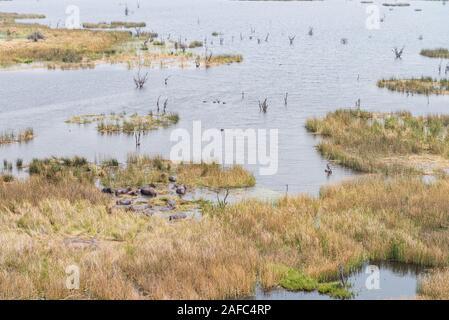 Herde Nilpferde im Okavango Delta (Botswana) Luftbild Aufnahme aus einem Hubschrauber - Stockfoto