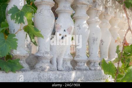 Lustige weiße Katze Kätzchen mit einzigartigen schwarzen Fell Markierungen und van Muster zwischen Baluster, Neugierig mit gelben Augen, Kreta, Griechenland