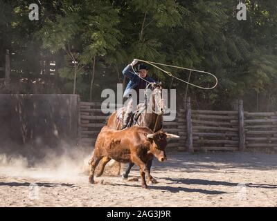 Ein amerikanischer Cowboy roping ein Longhorn mit einem lariat oder Lasso auf einer Ranch in der Nähe von Moab, Utah lenken. - Stockfoto
