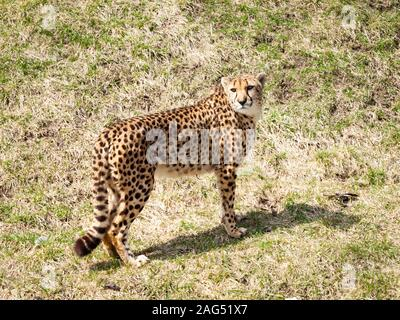 Zoey, einen erwachsenen weiblichen Geparden im Zoo von Toronto in Scarborough, Toronto, Ontario, Kanada. - Stockfoto
