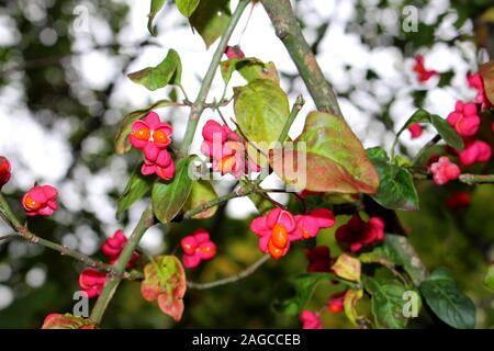 In der Nähe von Blüten und Früchte einer Spindel Bush, auch genannt Euonymus Europaea, Pfaffenhütchen, flacher DOF, Bokeh - Stockfoto