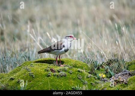 Andengemeinschaft Kiebitz Vanellus resplendens Antisana Vulkan, Ecuador 3 Dezember 2019 Nach Charadriidae - Stockfoto
