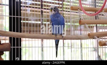 Einen blau-weißen männlichen Wellensittich auf Holz Barsch in einem Käfig. - Stockfoto