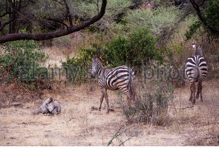Zebri, Zebro, Zebra - auf Safari im Ngorongoro Crater in Tansania Afrika gefunden - Stockfoto
