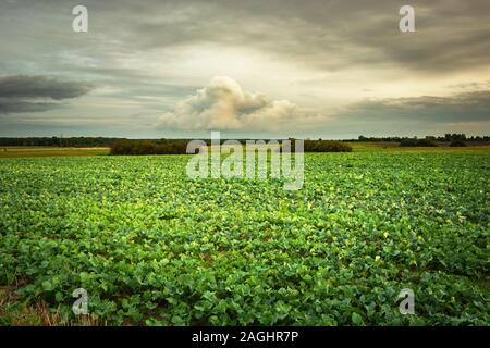 Zuckerrüben Feld, Wolken am Himmel, Summer View - Stockfoto