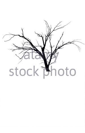 Eine Silhouette nackten Baum, Cut-out und vor einem weißen Hintergrund isoliert. Der Baum ist alt und wurde im Outback Australien fotografiert. Kopieren Sie unten. - Stockfoto