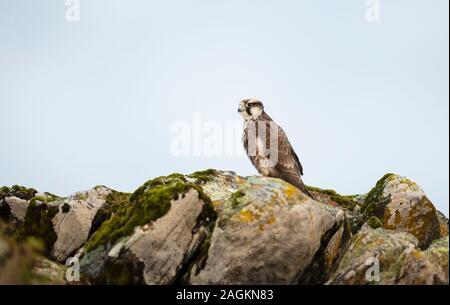 Augur Bussard thront auf einem Felsen, Bale Berge, Äthiopien. - Stockfoto