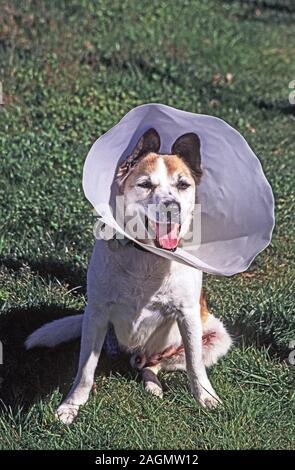 Hund. Beagle x Collie. Mein Hund Bertie nach seinem Betrieb seiner rechten hinteren Bein zu entfernen. Südwesten Frankreichs. - Stockfoto