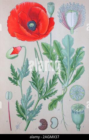 Digital verbesserte hochwertige Reproduktion: Papaver rhoeas, allgemeinen Namen gehören gemeinsame Poppy, Corn Poppy, Mais Rose, field Poppy, Flandern Mohn oder roter Mohn, ist ein jährliches krautigen Arten der blühenden Pflanze in der Familie Mohn, Papaveraceae / Klatschmohn, auch Mohnblume oder Klatschrose genannt, ist eine Pflanzenart aus der Gattung Mohn, Familie der Mohngewächse - Stockfoto