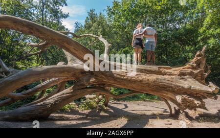 Ein junges Paar steht auf einem alten gestürzten Baum, links an der gleichen Stelle fiel es und war Entwurzelte liegen. Hampstead Heath, London, NW3, England, UK. - Stockfoto