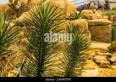 Joshua Tree mit den Ästen in Nahaufnahme, immergrüne Pflanze specie aus der Wüste von Amerika - Stockfoto