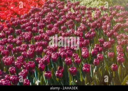 Schönen Frühling Bunte Tulpen Hintergrund - Stockfoto
