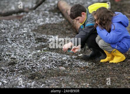 White Rock, Kanada. 27 Dez, 2019. Kinder werfen sie einen genaueren Blick auf die zahllosen winzigen Fisch am Ufer entlang in der White Rock Beach in White Rock, südlich von Vancouver, Kanada, am 04.12.27., 2019. Hunderttausende von winzigen Fisch gewaschen bis zu der Küste am White Rock Beach kürzlich, die Massen von Vögeln, Seelöwen und Seehunde über für Nahrung zu kommen, und verursachen auch einen Zustrom von Touristen. (Foto von Liang Sen/Xinhua) Quelle: Xinhua/Alamy leben Nachrichten - Stockfoto