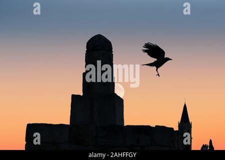 Ein Kolkrabe (Corvus Corax), auch bekannt als die nördlichen Raven über die Dächer der Altstadt in Jerusalem Israel fliegen - Stockfoto