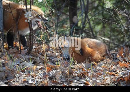 Red Fox animasl Close-up Profil der Wald die Interaktion mit geöffnetem Mund, Zähne angezeigte, gelblich roten Fell, Körper, Kopf, Augen, Ohren, Nase, Paw - Stockfoto