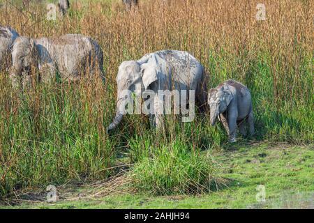 Eine Familie von Erwachsenen und einem Kind Indischer Elefant (Elephas maximus indicus) Beweidung in langen Gras Kaziranga National Park, Assam, NORDÖSTLICHE I - Stockfoto