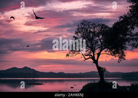 Indische Flughunde (Arten von Flying Foxes) auf Sky gegen Moody Sonnenuntergang. Gruselige Szene in der Dämmerung in Sri Lanka. - Stockfoto