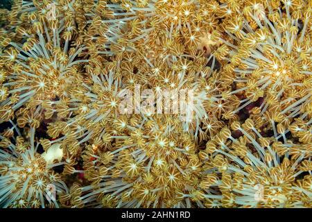 Korallen sind wirbellose Meerestiere innerhalb der Klasse Blumentieren der Stamm Cnidaria Stockfoto