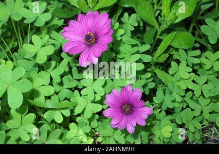 Osteospermum Äther-schlagen Mary'thtough Trifolium pratense - Stockfoto