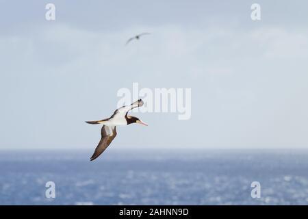 Ein Braunbooby, Sula leucogaster, fliegt über das Karibische Meer und sucht nach Fischen in der Nähe der Wasseroberfläche - Stockfoto