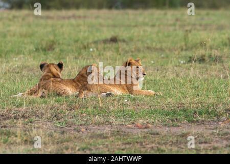 Löwen, die zu doppeltem Kreuzstolz gehören und während einer Wildtier-Safari einen frischen Tod in den Ebenen Afrikas im Masai Mara National Reserve genießen - Stockfoto