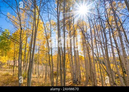 Sonne scheint durch Aspen Bäume im Herbst in Colorado - Stockfoto