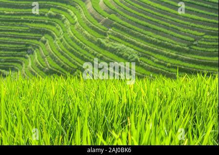 In der Nähe von grünen Reis pflanzen auf den Feldern der Longsheng Reisterrassen, Guangxi Provinz, China wächst - Stockfoto