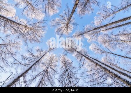 Verschneite Bäume in Harbin China im Winter Stockfoto