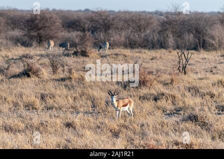 Eine Aepyceros melampus Impala - eng an seine Umgebung im Etosha National Park, Namibia. - Stockfoto