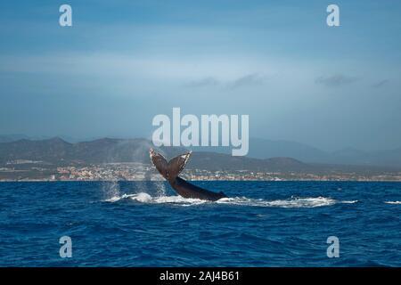 Buckelwal Schwanz aus dem Wasser, Cabo San Lucas im Hintergrund