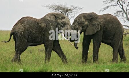 Afrikanischer Elefant (Loxodonta africana) zwei kampfstiere, Serengeti National Park, Tansania - Stockfoto