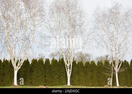 Drei weiße Birken vor einer immergrünen Hecke an der Oregon Garten in Silverton Oregon. - Stockfoto