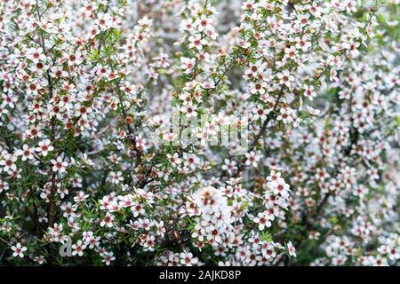 Manuka in voller Blüte, weiße Blumen in selektiven Fokus. - Stockfoto