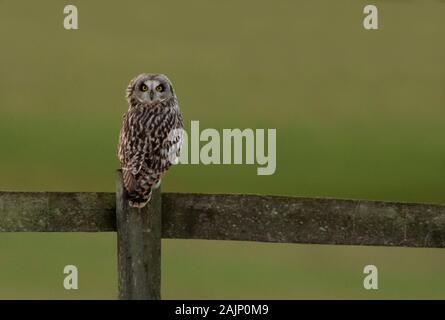Eine wilde Short Eared Owl (Asio Flammeus) auf Holz- Zaunpfosten, Cotswolds gehockt, Gloucestershire - Stockfoto