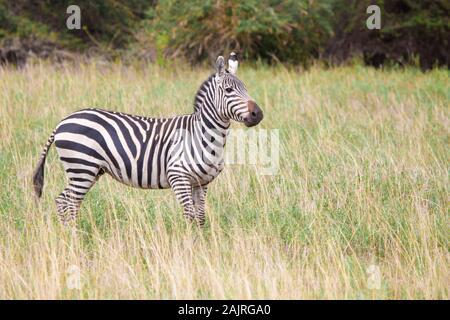 Zebra im Grünland in Kenia auf Safari - Stockfoto