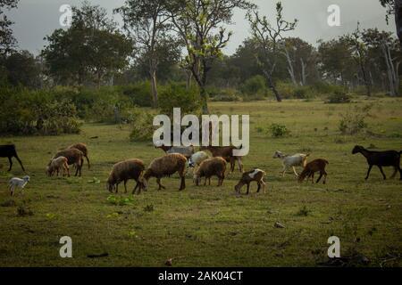 Schafe und Ziegen weiden entlang der Waldfläche in Masinagudi, Mudumalai Nationalpark, Tamil Nadu, Karnataka, Indien - Stockfoto