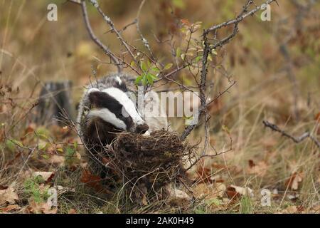 Dachs in der Nähe von Wald, tierische Natur Lebensraum, Europa. Wildlife Szene. Wild Dachs Meles meles, essen Eier aus dem Nest. Europäischen Dachses. - Stockfoto