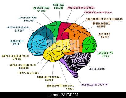 Darstellung der Anatomie des menschlichen Gehirns auf weißem Hintergrund. Ideal für Schule Buch